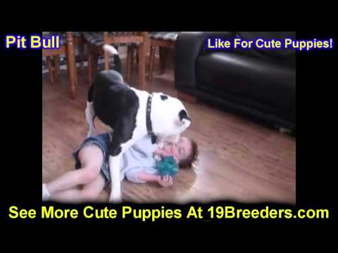 Pitbull, Puppies, For, Sale, In, Baltimore, Maryland, MD, Fort Washington, South Laurel, Reisterstow