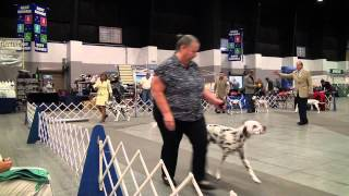 Jupiter-tequesta Kennel Club Dog Show: Dalmatians (west Palm Beach, Fl: 7-14-12)