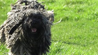 Bob - Hungarian Puli - 4 Week Residential Dog Training At Adolescent Dogs