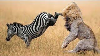 Lion vs zebra  lion killing zebra  amazing animals