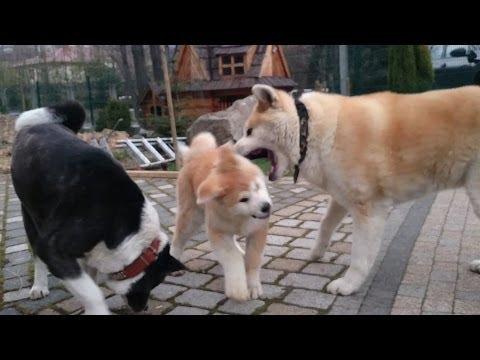 Akita Inu trening. Starszy pies Akita trenuje szczeniaka. Trzy pieseły. Pieseł w akcji.