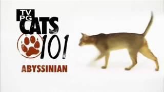 Породы кошек! Абиссинцы