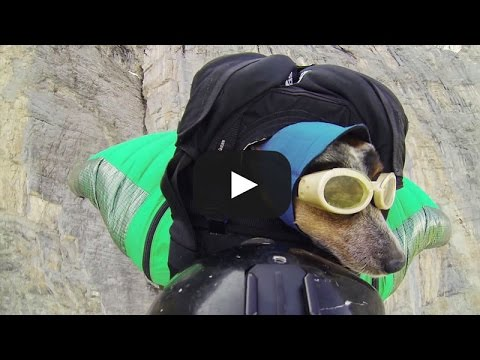 Greatest World's First Wingsuit Base Jumping Dog Of All Time