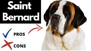 Saint Bernard Pros And Cons | The Good AND The Bad!!