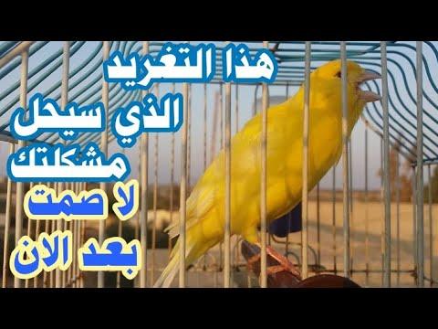 عندك كناري ضعيف الصوت قليل الغناء أنعشه الأن  فورا لن يصمت ابدا Kinary-canary