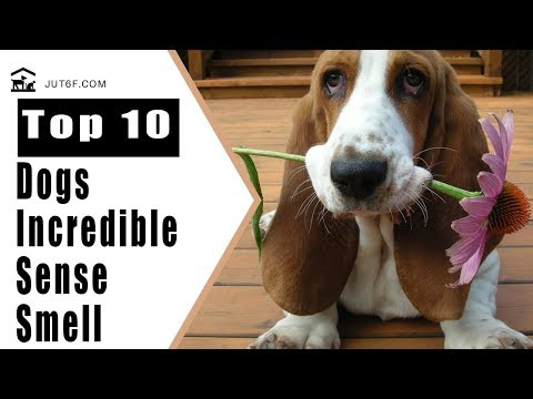 Dogs Sense Of Smell - Top 10 Dog Breeds With Incredible Sense Of Smell
