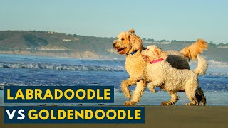 Labradoodle Vs Goldendoodle: Which Breed Is Right for Your Family?