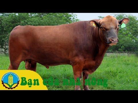 Kinh nghiệm và kỹ thuật phòng bệnh cho bò nuôi lấy thịt