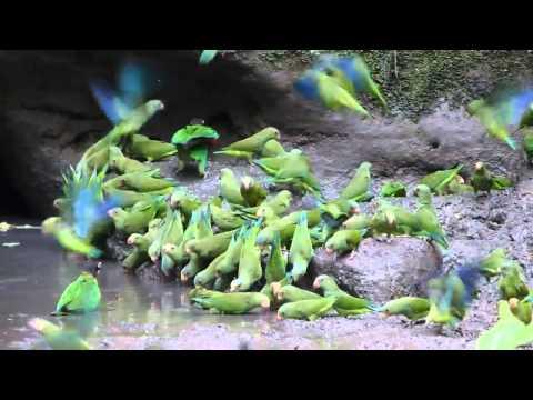 Cobalt-winged Parakeets and Orange-cheeked Parrots, Napo clay lick, Ecuador