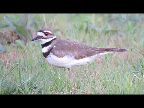 Killdeer, Call, Song