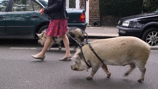 What's it like to take 3 dogs and 2 pigs for walks around West London? : Antonia, Londoner #128
