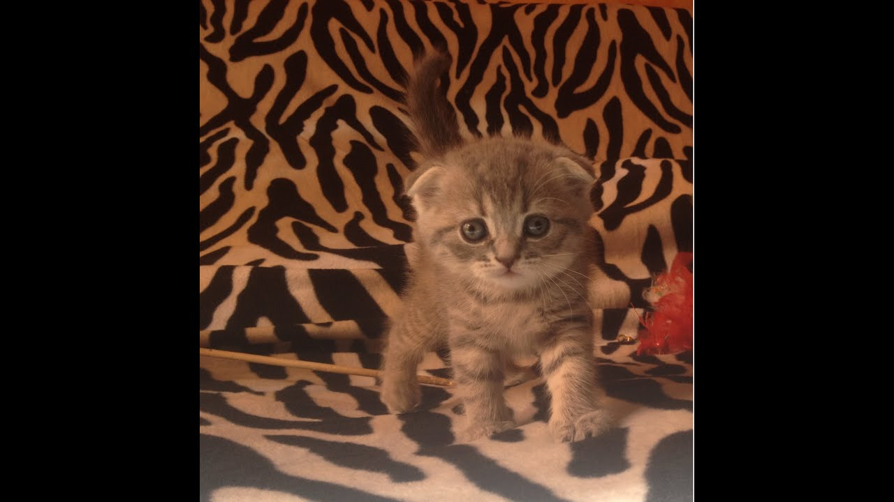 Шотландские котята, вислоухие и прямоухие котята, кот, котик, котёнок. Животные » кошки. 7 070 грн. Договорная. Винница, ленинский 30 сент.