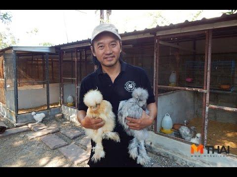 MThai News ไก่ซิลกี้ สัตวเลี้ยงเทรนด์ใหม่สร้างรายได้เกินครึ่งแสนต่อเดือน