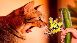 Коты против огурцов новый репортаж