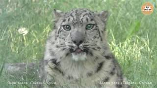Снежный барс гуляет по вольеру. Тайган. Snow Leopard walks through the aviary. Taigan