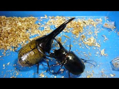 Big Beetle Battle ! The Hercules Beetle is the strongest insect !
