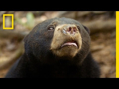 Protecting the Sun Bears of Borneo | National Geographic