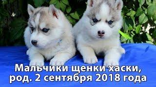 Щенки хаски мальчики серо-белые, родились 2 сентября 2018 года