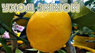 Как ухаживать за домашним лимоном зимой чтобы весной было бешенное цветение? Уход домашний лимон!
