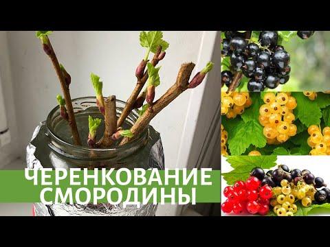 Черенкование смородины-самый удачный и простой способ.