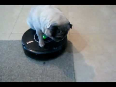 My Pug Dog Driving Roomba Youtube