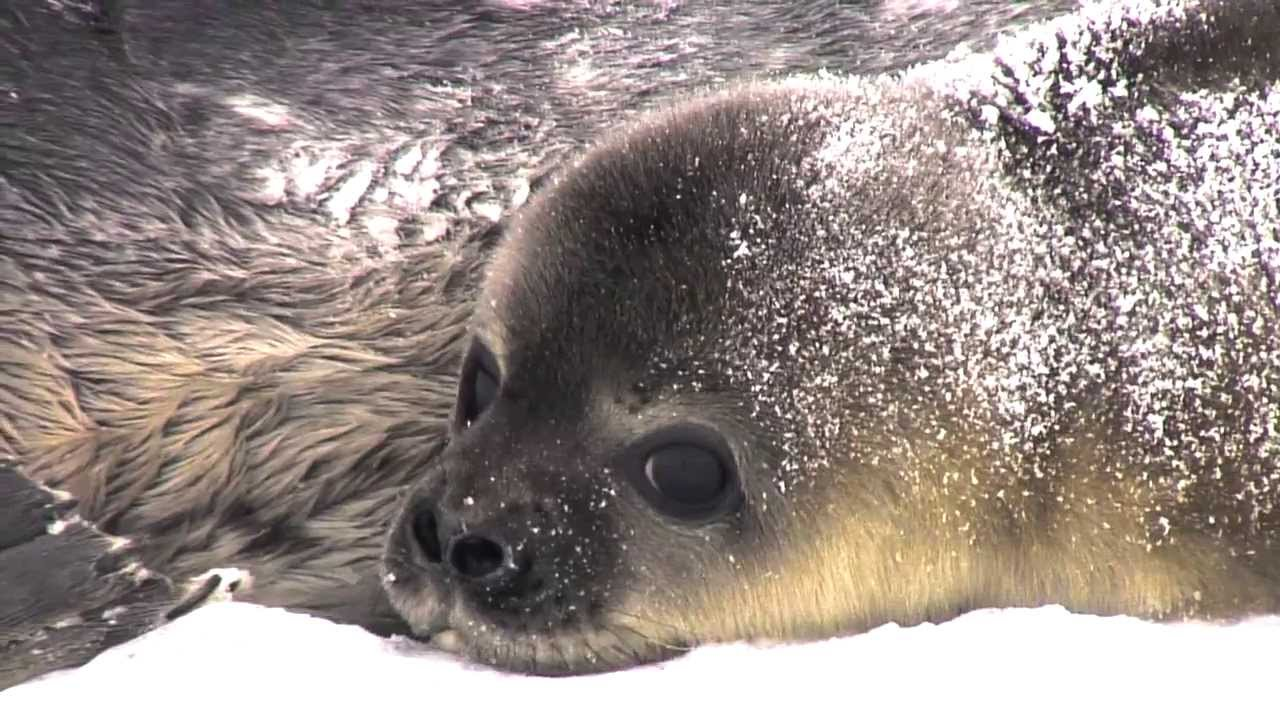 What Does M Mean >> Being Different If You're A Weddell Seal In Antarctica ...