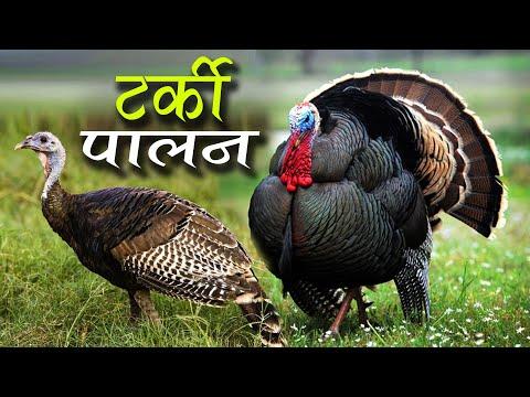 टर्कीको व्यापार, मासिक लाखौको कारोबार | Turkey Bird Farming in Nepal
