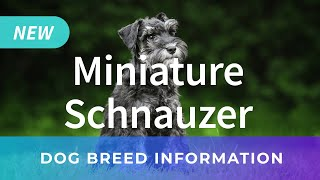 Mini Schnauzer | Dog Breed Information