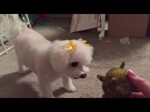 Adorable Bichon Frise Dog Tries To Play Catch and Fails