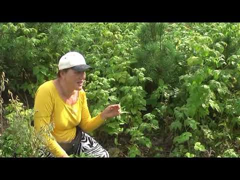 Какие результаты посадки малины на бревна