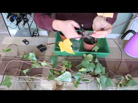Propagating Ivy - Stem Cuttings