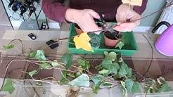 Propagating Ivy - Stem Cuttings