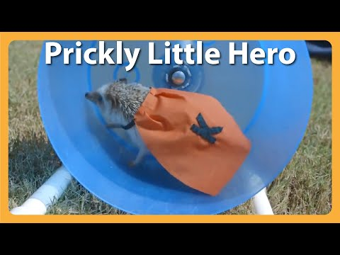 Meet Kayak, The Rescued Hedgehog Who's Also A Superhero