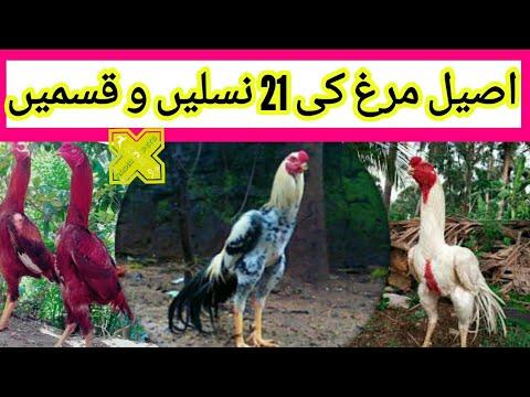 اصیل مرغ کی 21 مشہور نسلیں و قسمیں Aseel 21 Famous Breeds Varities & Types