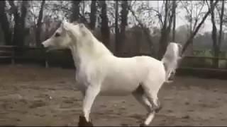 Mükemmel arap atı. Hayvanlar alemi Arabic horse. At videoları En güzel atlar