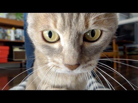 アシカラマル・ヒモスキー - Cat playing with string -
