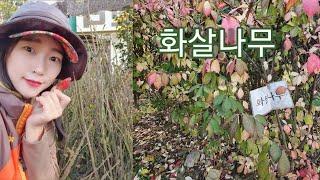 단풍이 예쁜 화살나무 - 신라조경농원