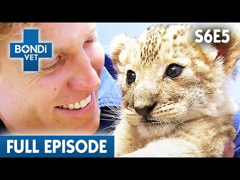 Abandoned Cub Lion From Mother | S06E05 | Bondi Vet
