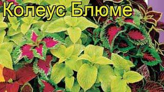 Колеус Блюме (Колеус). Краткий обзор: Колеус Блюме описание характеристик, где купить, семена