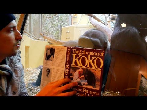 """""""The Education of Koko"""" showed to a Gorilla, Zoo Zürich"""