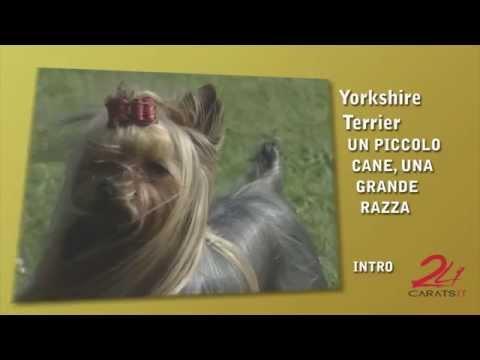Yorkshire Terrier: Un Piccolo Cane, Una Grande Razza