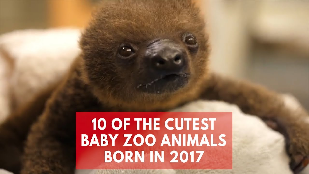 Top 10 Cutest Baby Zoo Animals Of 2017 Youtube