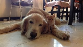 Golden Retriever And Kitten Are Adorable Best Friends
