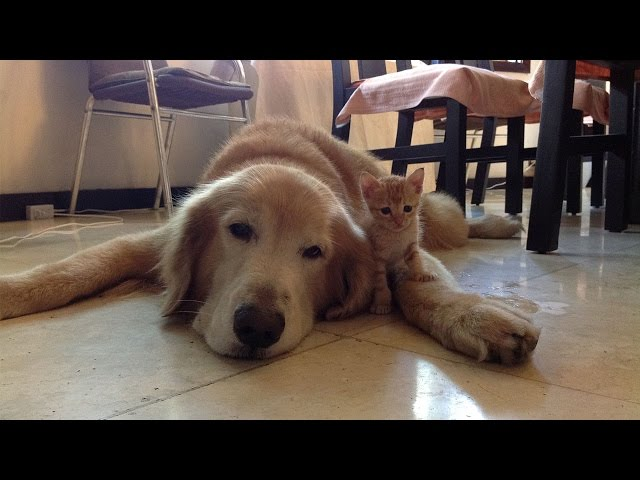 Golden Retriever And Kitten Are Adorable Best Friends