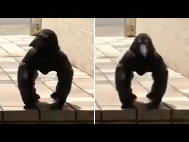 Graban en Japón una extraña criatura mitad cuervo mitad gorila