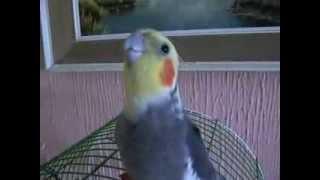 Papagaj feregtelenito