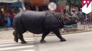 Огромный носорог напал на жителей деревни в южном Непале