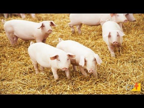 Clique e veja o vídeo Curso Produção de Suíno Light - Mais Carne, Menos Gordura CPT
