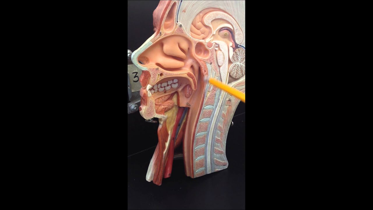 Anatomy Of The Throat Youtube