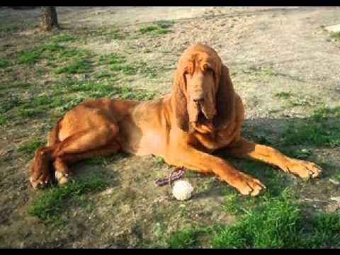 M Landsky- Bloodhound Bloodhound Dog ...